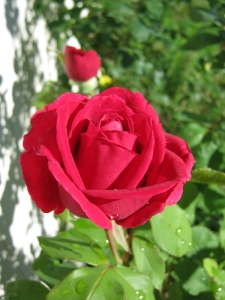 red rose 'Mr. Lincoln'