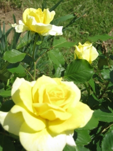 yellow rose 'Aperitif'